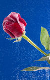 Rose in the water on a blue background Royalty Free Stock Photos