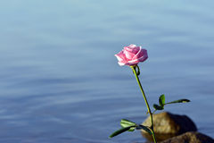 Rose and water. Rose and copy space on water background and stones Royalty Free Stock Images