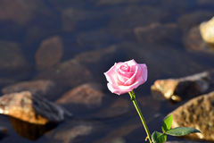 Rose and water Stock Photo