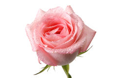 Rose with water drop Royalty Free Stock Photos