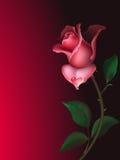 Rose with water drop stock photos