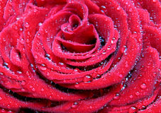 Rose. With water droplets in the background Stock Photo