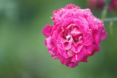 Rose with water droplets Stock Photography