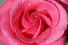 Rose with water drops 2 Royalty Free Stock Images