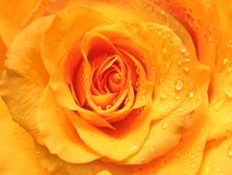 Rose with water drops background Royalty Free Stock Image