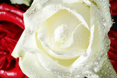 Rose with water drops close up Royalty Free Stock Images