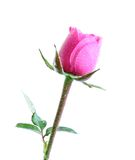 Rose in water drops, isolated. Royalty Free Stock Photography