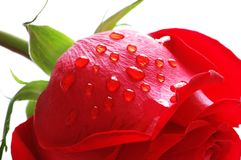 Rose with water drops isolated Stock Image