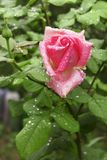Rose with water drops Stock Images