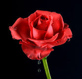 Rose with water drops Stock Photo