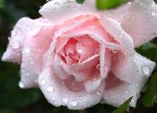 Rose With Water Drops rosada apacible Fotografía de archivo libre de regalías