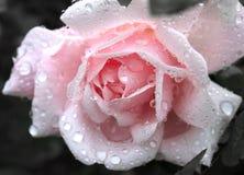 Rose With Water Drops rosada apacible Fotos de archivo libres de regalías