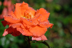 The rose Royalty Free Stock Photo