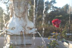 Rose and water fountain background royalty free stock images