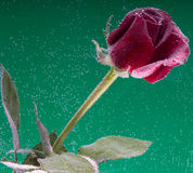 Rose in the water on a green background Stock Image