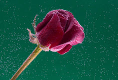 Rose in the water on a green background Stock Photography
