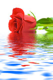 Rose in water Stock Photography