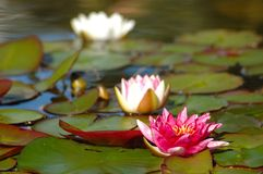 Rose water-lily Stock Photos