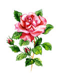 Rose watercolor. Watercolor three roses on a white background Royalty Free Stock Photo