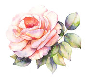 Rose watercolor illustration Stock Image