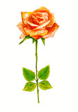 Rose. Watercolor painting. Royalty Free Stock Photos