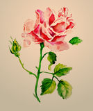 Rose watercolour. Vector illustration on pink background Stock Image