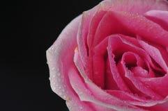 Rose waterdrop Royalty Free Stock Images
