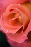 Rose and waterdrop macro Stock Photo