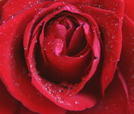 Rose with waterdrops. A red rose with waterdrops Royalty Free Stock Photography