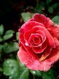 rose waterdrops för red Arkivbild