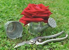 Rose in watering can Stock Photo