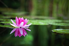 Rose waterlily Photo stock