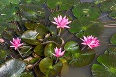 Rose waterlily ou fleur de lotus Photos libres de droits