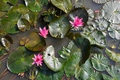 Rose waterlily ou fleur de lotus Photo stock