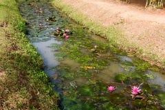 Rose waterlily ou fleur de lotus Photo libre de droits