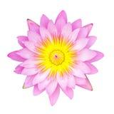 Rose waterlily ou fleur de lotus photos stock