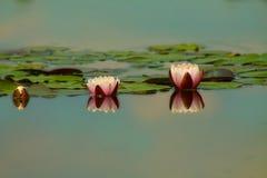 Rose waterlily ou fleur de lotus dans l'étang Photos libres de droits