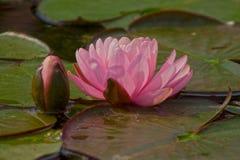 Rose waterlily ou fleur de lotus dans l'étang Images stock