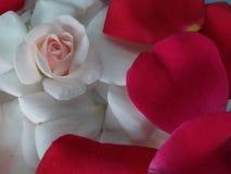 Rose weiß mit den Blumenblättern mit Blumen stockbilder