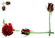 rose wektor ilustracji tło białe Zdjęcie Stock
