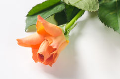 rose wektor ilustracji tło białe Zdjęcie Royalty Free