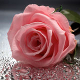 Rose on wet background. Rose on wet  silver background Stock Images