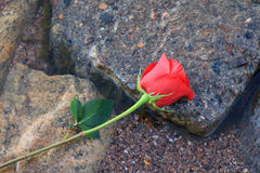 Rose on Wet Rocks. Red rose laying on wet rocks on a lake shore Royalty Free Stock Photos