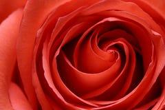 rose wewnątrz Fotografia Royalty Free