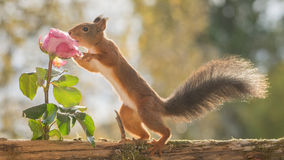 Rose whisperer Royalty Free Stock Image