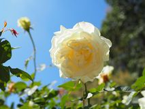 rose white obrazy royalty free