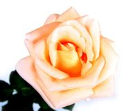 Rose on white. Stock Photography