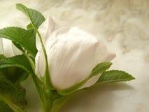 rose white Obraz Stock