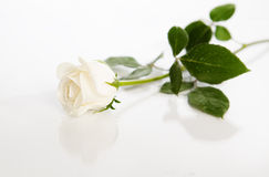 Rose on white Royalty Free Stock Image