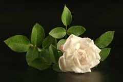 rose white Fotografia Royalty Free